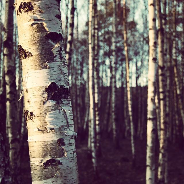 #FORREST #BIRCH #SPRING #TREES